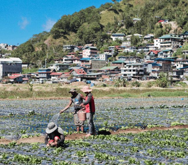 Three people harvesting vegetables